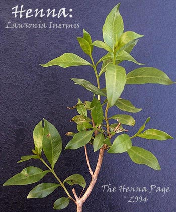 The Henna Page The Encyclopedia Of Henna Growing Henna
